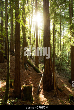 California Redwood forest in morning, with bright sunshine through branches - Stock Photo