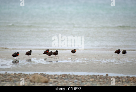 Black Oystercatchers gathering on the tideline at Qualicum, Vancouver Island. British Columbia. Canada. - Stock Photo