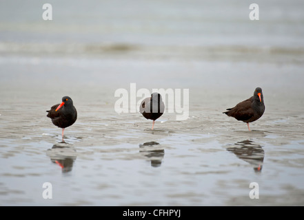 A trio of Black Oystercatchers on the tideline at Qualicum, Vancouver Island. British Columbia. Canada. SCO 8099 - Stock Photo