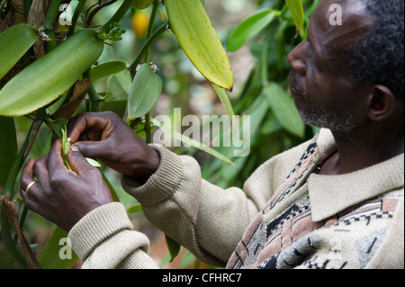 Inspiring Older Man Planting Flowers In Backyard Stock Photo Royalty Free  With Luxury A Farmer Fertilizes Vanilla Flowers On His Farm In The Rwenzori Mountains  Near Bundibugyo Uganda With Awesome Peking Garden Stockton Menu Also Curved Metal Garden Bench In Addition Garden Wooden Arches And Peace Garden As Well As I Garden Court Additionally How To Make Garden Cloches From Alamycom With   Luxury Older Man Planting Flowers In Backyard Stock Photo Royalty Free  With Awesome A Farmer Fertilizes Vanilla Flowers On His Farm In The Rwenzori Mountains  Near Bundibugyo Uganda And Inspiring Peking Garden Stockton Menu Also Curved Metal Garden Bench In Addition Garden Wooden Arches From Alamycom