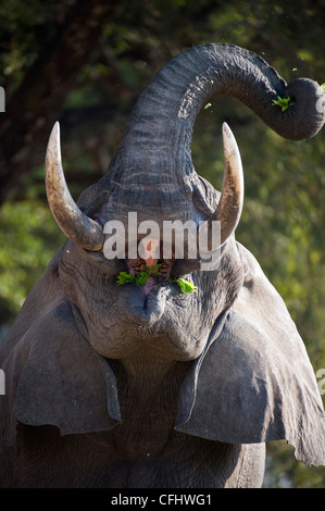 Adult bull African Elephant feeding. Banks of the Luangwa River. South Luangwa National Park, Zambia. - Stock Photo