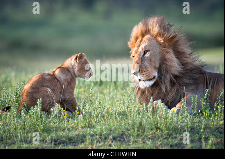 Male African Lion playing with 4 month old cub, Big Marsh, Ndutu, Serengeti, Tanzania - Stock Photo