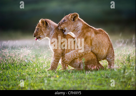 African Lion cubs around 4 month old cub playing together, Big Marsh, Serengeti, Tanzania