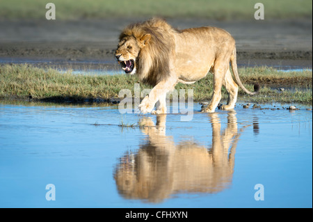 Male African Lion showing reflection at Big Marsh, Ndutu, Serengeti, Tanzania - Stock Photo