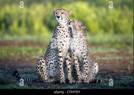 Adult female Cheetah with cub Ndutu, Ngorongoro, Tanzania - Stock Photo