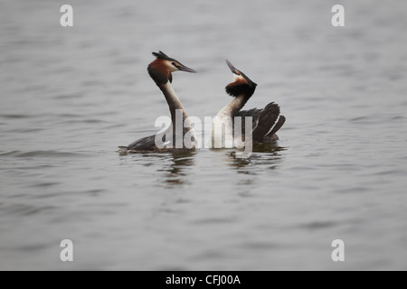 Great Crested Grebe's, Podiceps cristatus performing their head-to-head courtship display, East Yorkshire, UK - Stock Photo
