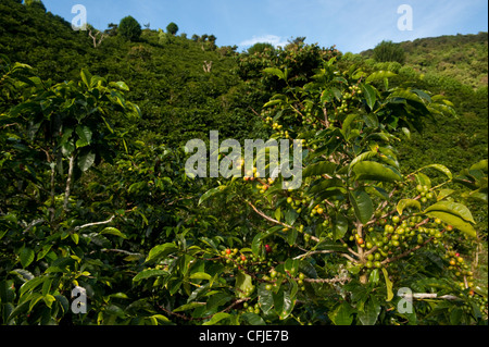 Coffee plantations in - Stock Photo