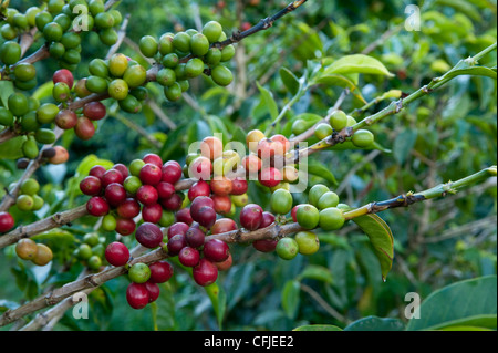 Coffee plantations - Stock Photo