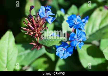 Small blue flowers of Blue Flowered Leadwort, Ceratostigma Plumbagenoides, Plumbaginaceae, Western China - Stock Photo