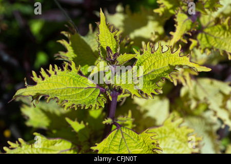 Leaves of  green Coleus ornamental plant, Painted Nettle - Stock Photo