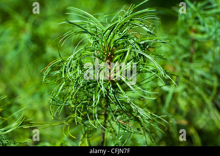 Green conifers of Eastern White Pine, Pinus Strobus Concorta - Stock Photo