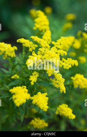 Yellow flowers of Little Lemon Goldenrod, Solidago v Dansolitlem, Asteraceae - Stock Photo