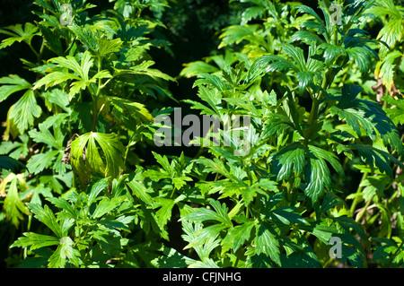 Toxic plant of Monkshood, Aconitum Napellus, Ranunculaceae - Stock Photo