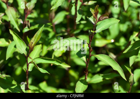 Green plant of Ramie, Boehmeria Nivea, Urticaceae, fiber plant - Stock Photo