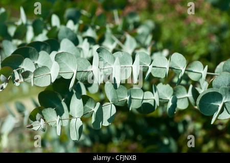 Argyle apple, Mealy Stringybark, Eucalyptus cinerea var pendula - Stock Photo