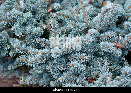 Silver blue conifers of Colorado Spruce, Picea Pungens f Glauca var Montgomery - Stock Photo