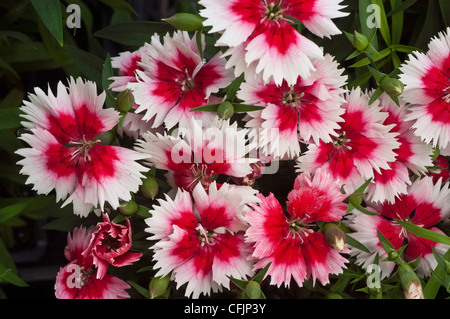White and red flowers of Dianthus barbatus, Caryophyllaceae - Stock Photo