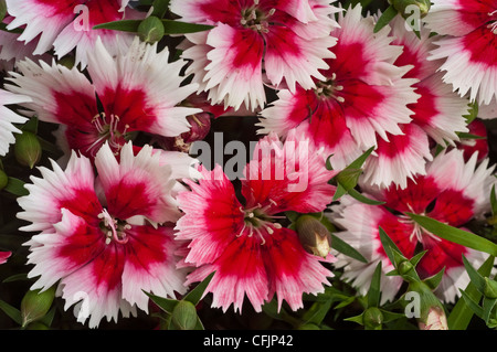 White and red flowers of Dianthus barbatus, Caryophyllaceae, bloom, blossom, petals, cultivar, horticulture, gardening, - Stock Photo