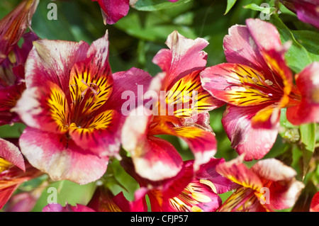 Pink, red, yellow, violet, purple flowers of Princess Oxana, Peruvian Lily. Alstroemeria x Straprioxa - Stock Photo