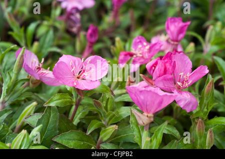 Pink magenta flowers of Oenothera Glowing Magenta - Stock Photo