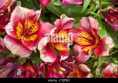 Pink, red, yellow, violet, purple flowers of Princess Oxana, Peruvian Lily. Alstroemeria x Straprioxa, bloom, blossom, - Stock Photo