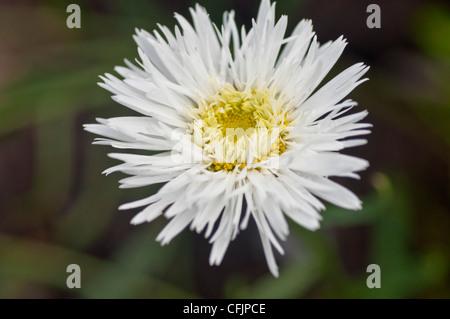 White flower of Shasta Daisy, Leucanthemum v Sante, Asteraceae - Stock Photo