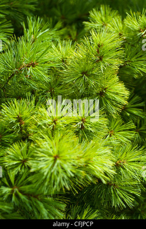 Green conifers of  Eastern White Pine, Pinus Strobus v Blue Shag - Stock Photo