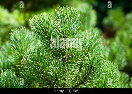 Green conifers of Dwarf Golden Mugo Pine, Pinus mugo, Carstens Wintergold - Stock Photo