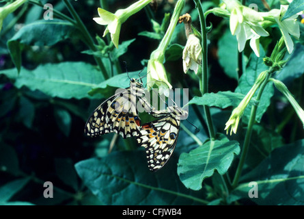 Papilio demoleus malayanus Lime Butterfly or Lime Swallowtail mating on Nicotania - Stock Photo