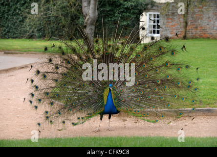 A Peacock displaying its feathers at a country house UK - Stock Photo