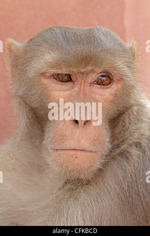 Rhesus Macaque Monkey - Stock Photo