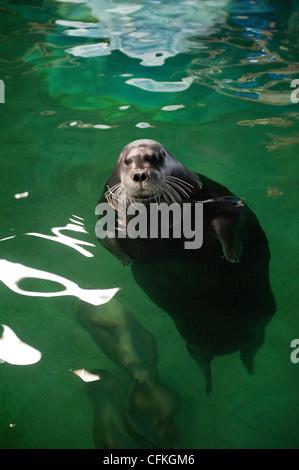 A bearded seal in the Polaria Museum & Aquarium in Tromso, Norway - Stock Photo