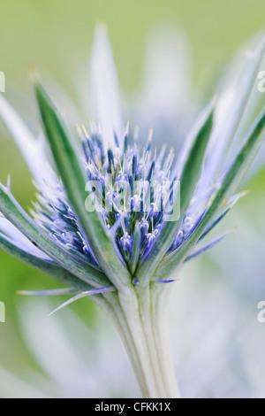 Eryngium bourgatii. Close up of sea-holly flower. - Stock Photo