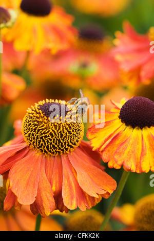 Helenium 'Moerheim Beauty'. A honeybee on Sneezeweed flowers in the garden. - Stock Photo