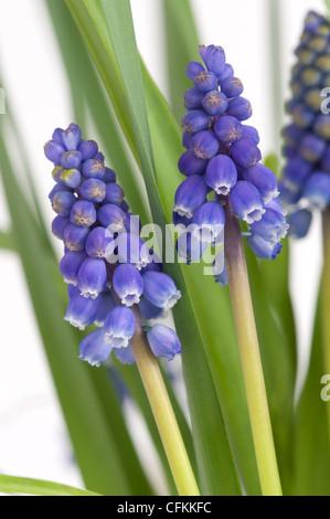 muscari or grape hyacinth flowers - Stock Photo