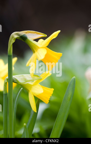 Narcissus 'Tete a tete'. Dwarf daffodils in the garden. - Stock Photo