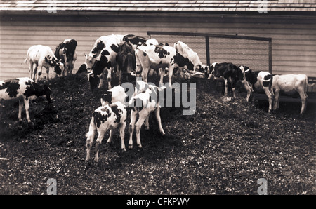 Cattle Eating on a Mound - Stock Photo