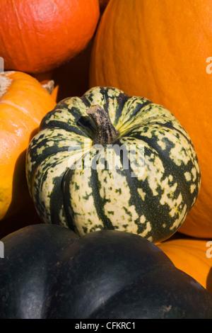 Cucurbita maxima. Squash harvest. - Stock Photo