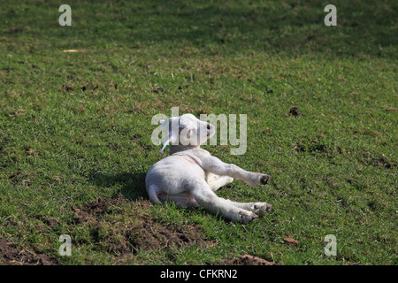 A little lamb is laying in the sun - Stock Photo