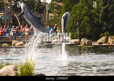 Bottlenose dolphins having fun by jumping high out of the water. - Stock Photo