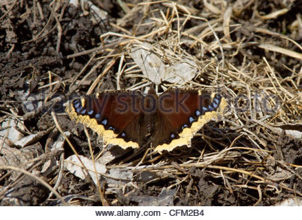 Mourning Cloak Nymphalis antiopa Butterfly 'New Mexico' - Stock Photo