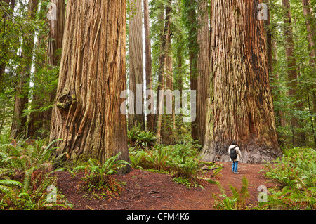 The beautiful and massive giant redwoods, Sequoia sempervirens located in the Jedediah Smith Redwoods State Park - Stock Photo