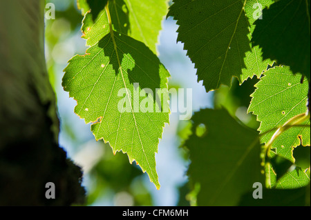 Close up of Birch Leaves in the Summer Sun - Stock Photo