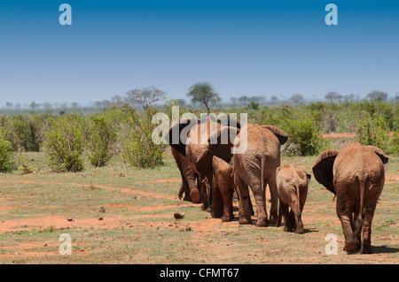 elephants walking in Tsavo East, Kenya - Stock Photo