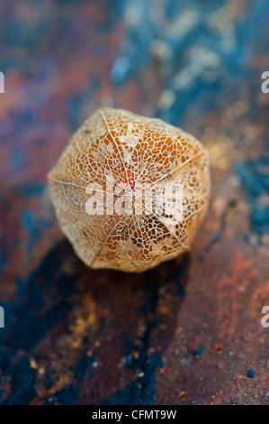 Physalis alkekengi 'Franchetii'. Chinese lantern fruit in decaying papery husk on slate background
