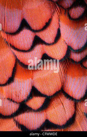 Close up of plumage on a male pheasant - Stock Photo