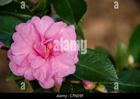 Pink flower of Japanese Camellia, Camellia japonica in sunlight - Stock Photo