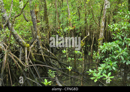 Mangrove forest, Daintree National Park, UNESCO World Heritage Site, Queensland, Australia, Pacific - Stock Photo