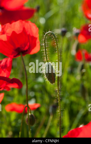 A close up of some poppies growing in a field near Castiglione D'Orcia, Tuscany, Italy. The is a poppy in bud and - Stock Photo