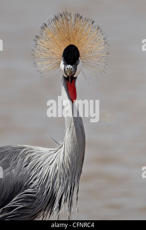 Grey crowned crane (Southern crowned crane) (Balearica regulorum), Serengeti National Park, Tanzania, East Africa, - Stock Photo